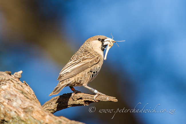 Sociable weaver by wildlife and conservation photographer Peter Chadwick