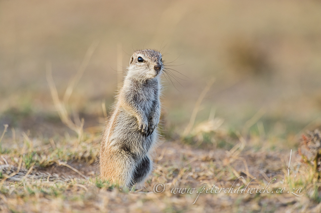 Ground Squirrel by wildlife and conservation photographer Peter Chadwick