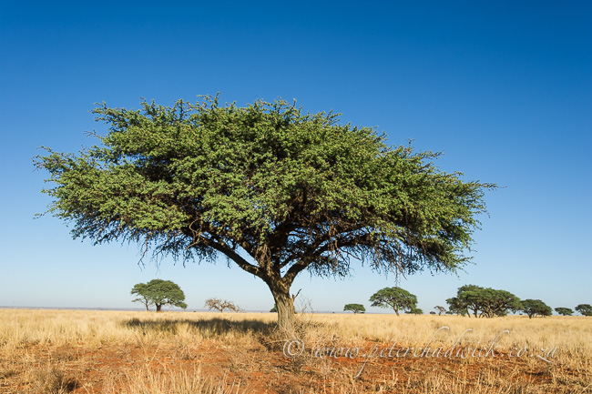 Camel thorn tree at Benfontein by wildlife and conservation photographer Peter Chadwick