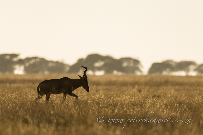 Red Hartebeest silhouette by wildlife and conservation photographer Peter Chadwick