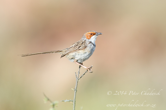 Rufous-Eared Warbler by wildlife and conservation photographer Peter Chadwick