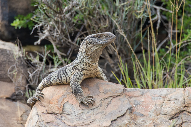 Rock Monitor lizard at Karoo National Park by wildlife and conservation photographer Peter Chadwick