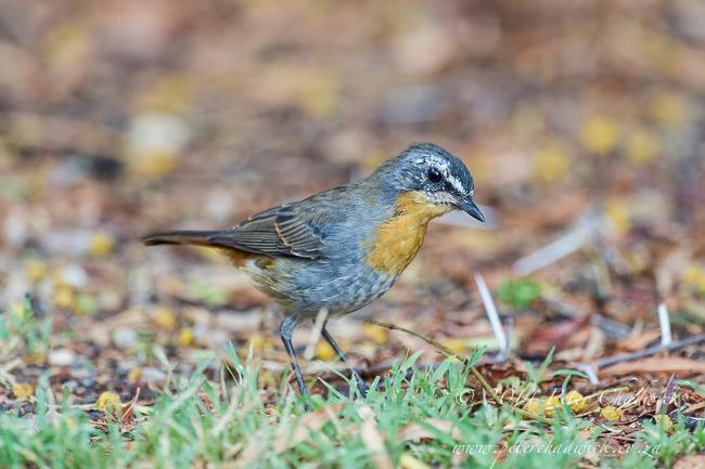 Cape Robin-Chat by wildlife and conservation photographer Peter Chadwick
