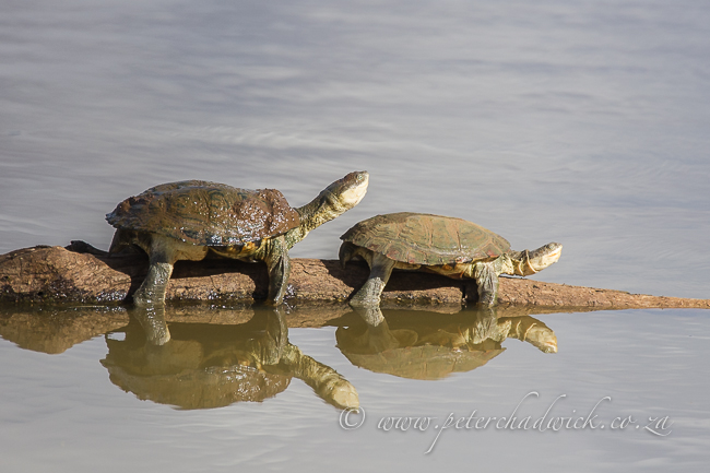 Marsh Terrapins by wildlife and conservation photographer Peter Chadwick