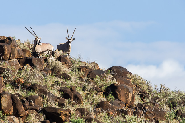 Gemsbok on rocky outcrop by wildlife and conservation photographer Peter Chadwick