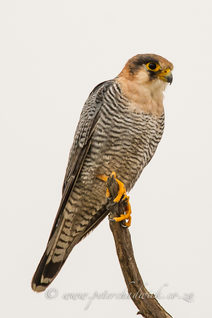 Red-Necked Falcon by wildlife and conservation photographer Peter Chadwick