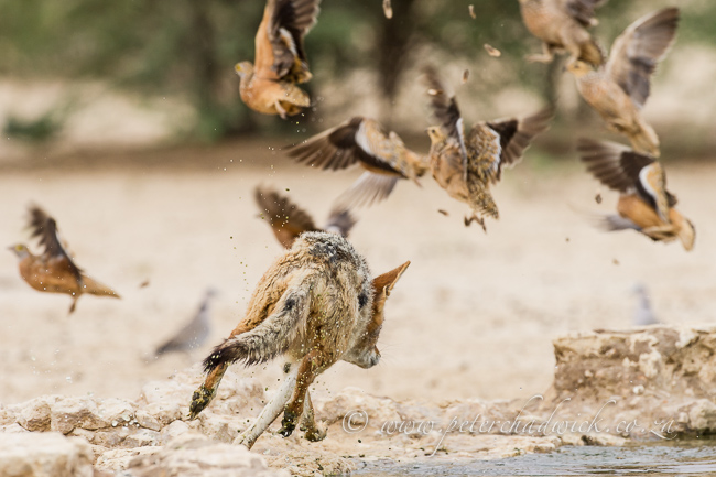 Hunting black-backed Jackal by wildlife and conservation photographer Peter Chadwick