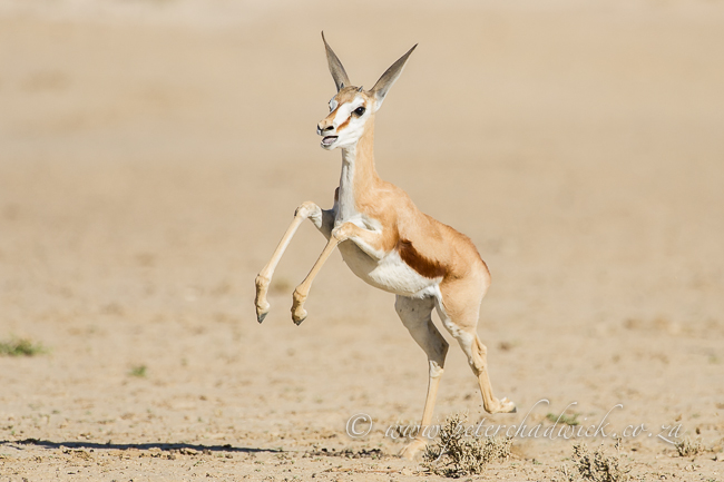 Frolicking springbok lamb by wildlife and conservation photographer Peter Chadwick