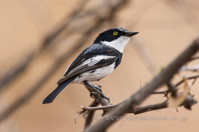 Pririt Batis by wildlife and conservation photographer Peter Chadwick