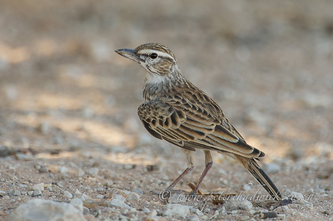 Sabota Lark by wildlife and conservation photographer Peter Chadwick