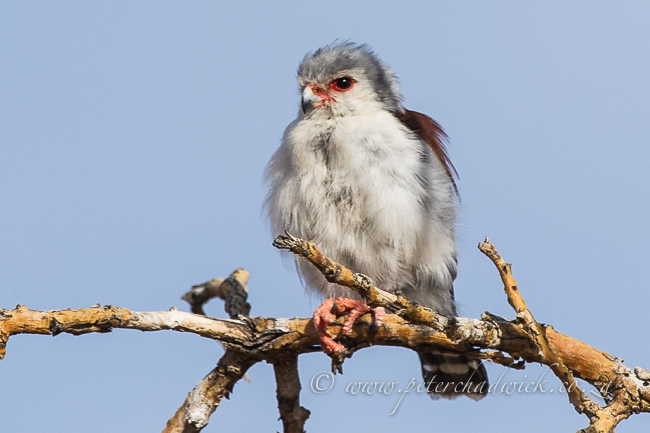 Female Pygmy Falcon | ©Peter Chadwick