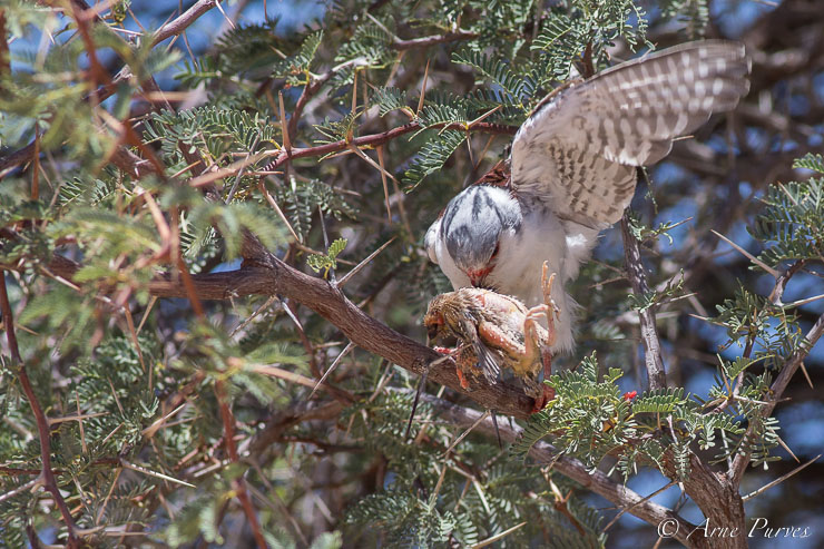 Pygmy Falcon feeding on sociable weaver fledgling | Kgalagadi | ©Arne Purves