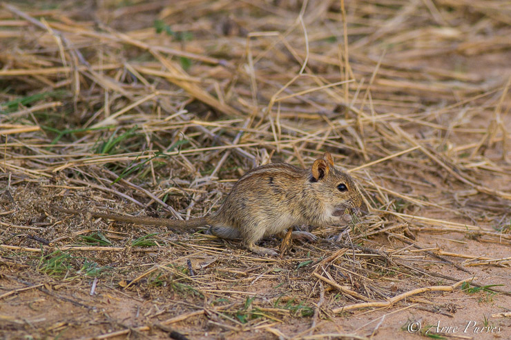 Four-striped Mouse beneath Social Weavers Communal Nest | Kgalagadi | ©Arne Purves