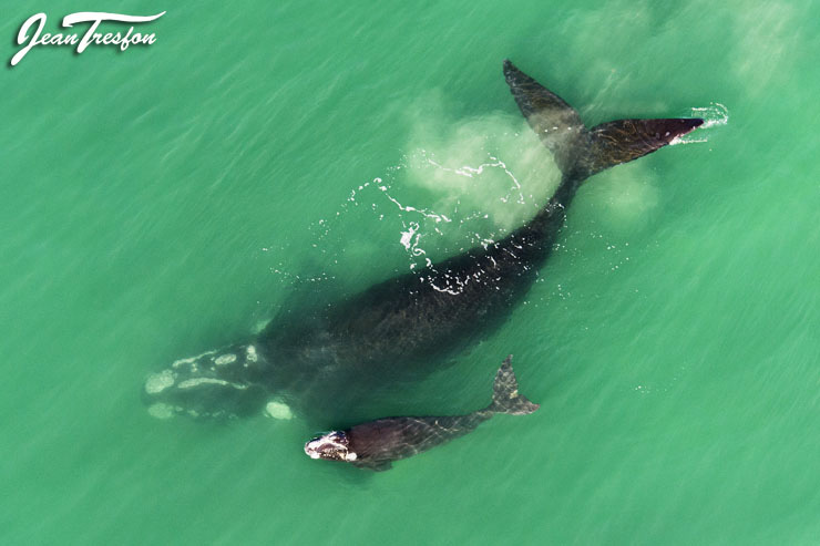 A southern right whale mother and calf pair in the nursery grounds at Hermanus | ©Jean Tresfon