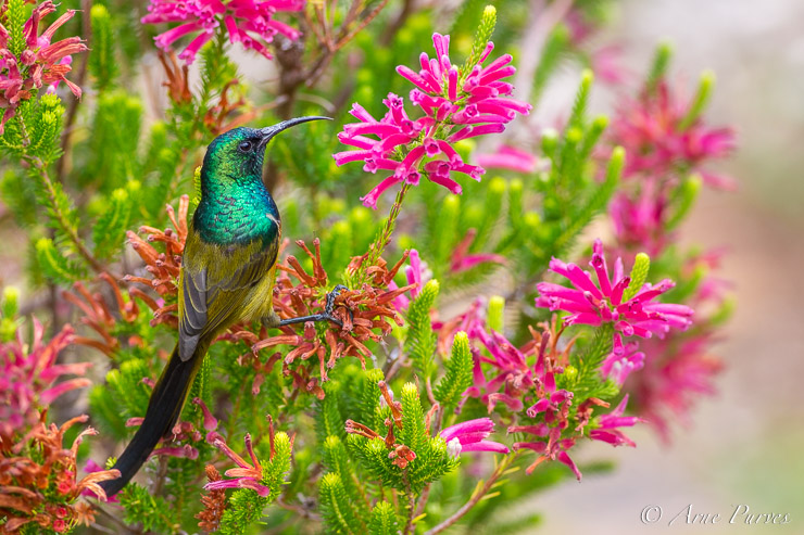Orange-breasted Sunbird in Kirstenbosch copyright arne purves