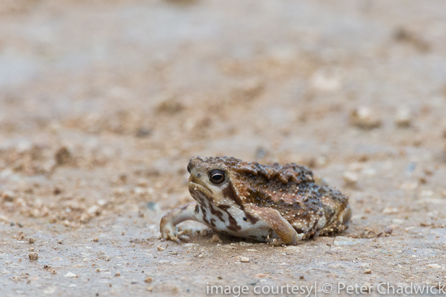 Bushveld rain frog by wildlife and conservation photographer peter chadwick