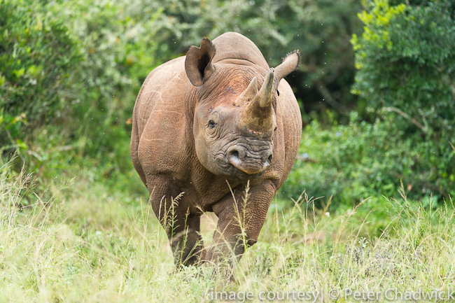 Black Rhino by wildlife and conservation photographer peter chadwick