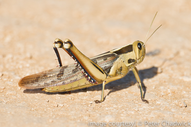 brown locust by wildlife and conservation photographer peter chadwick