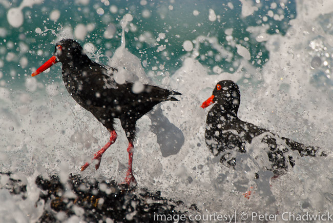 african black oystercatcher pair caught in wave break by wildlife and conservation photographer peter chadwick