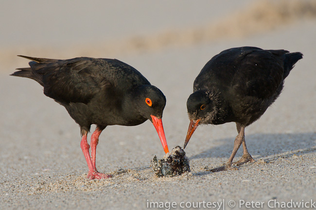 african black oystercatcher feeding on red bait with chick by wildlife and conservation photographer peter chadwick