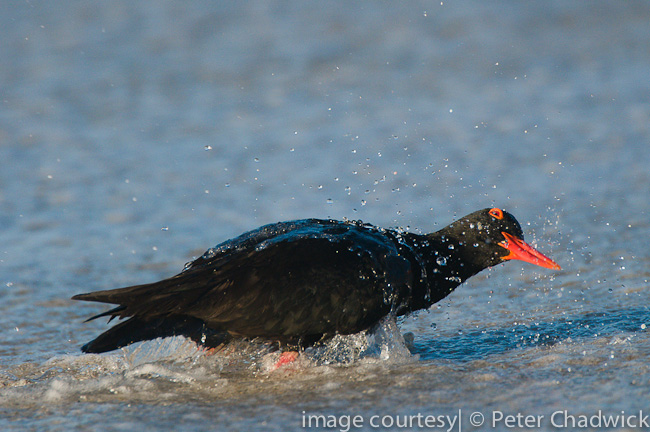 african black oystercatcher bathing in receeding waves on shoreline by wildlife and conservation photographer peter chadwick