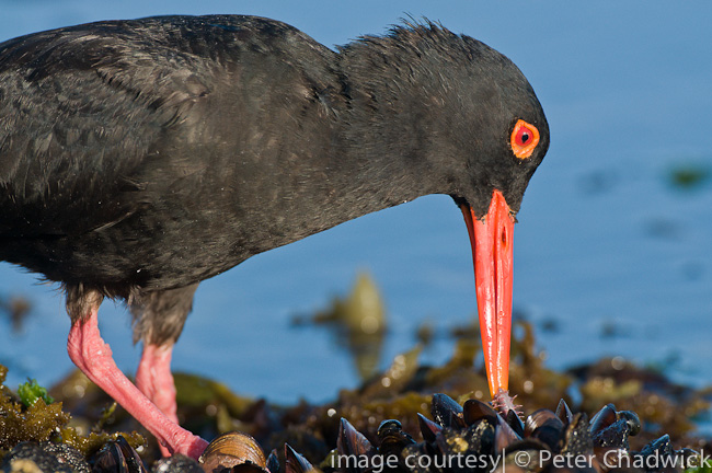 african black oystercatcher tugging reef worm by wildlife and conservation photographer peter chadwick