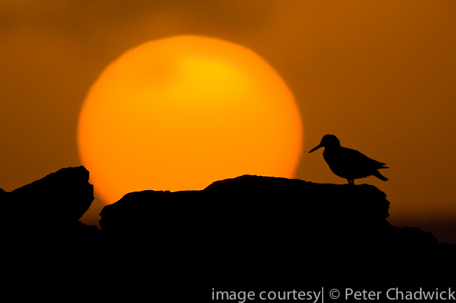 african black oystercatcher and sunrise by wildlife and conservation photographer peter chadwick