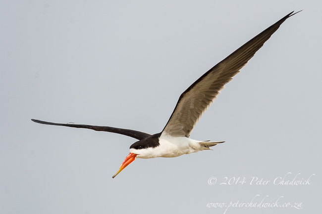 African Skimmer fllying over nesting colony by wildlife and conservation photographer Peter Chadwick