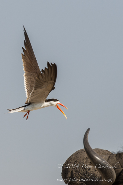 African Skimmer stiking buffalo head by wildlife and conservation photographer Peter Chadwick