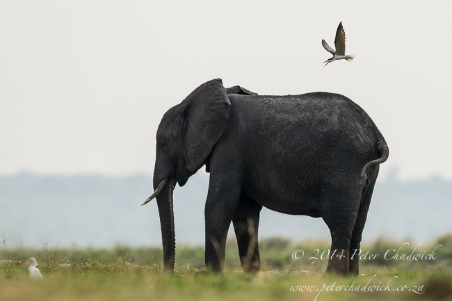 African skimmer mobbing elephant by wildlife and conservation photographer Peter Chadwick