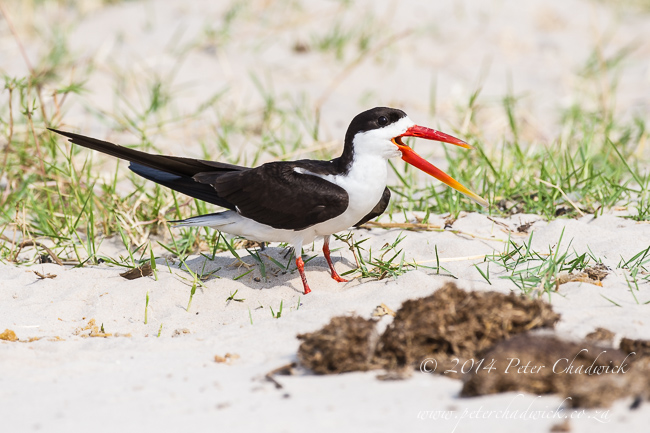 African Skimmer calling loudly by wildlife and conservation photographer Peter Chadwick