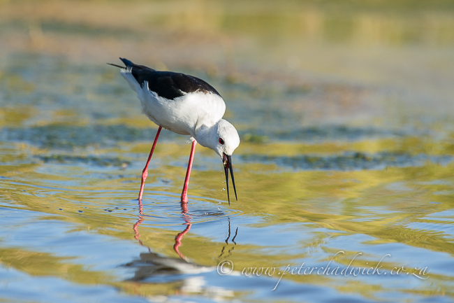 Black winged stilt feeding by wildlife and conservation photographer Peter Chadwick