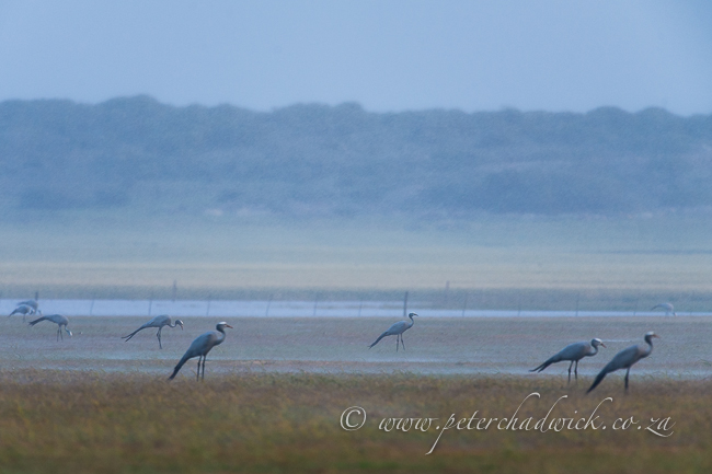 Blue cranes standing in heavy rain by wildlife and conservation photographer Peter Chadwick