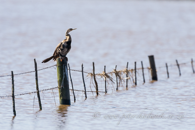 African darter on flooded farm fence by wildlife and conservation photographer Peter Chadwick