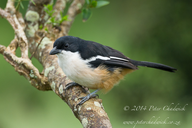 southern boubou by wildlife and conservation photographer Peter Chadwick