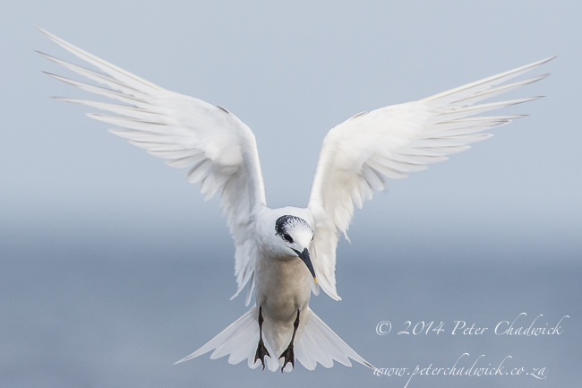 Sandwhich tern hovering by wildlife and conservation photographer Peter Chadwick