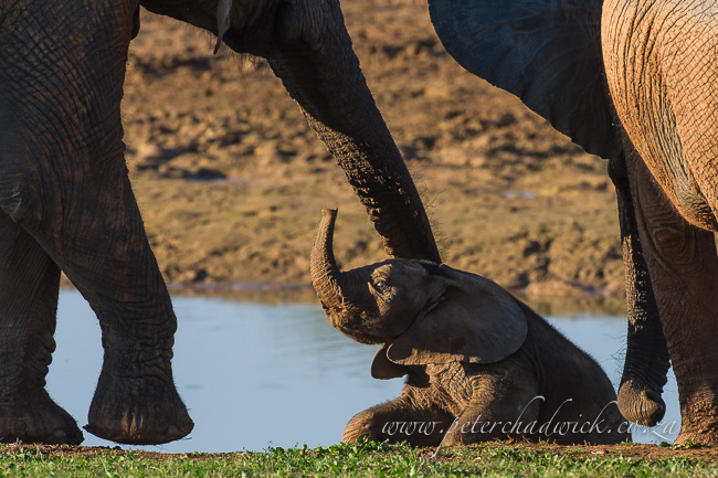 african elephant mother helping struggling calf by wildlife and conservation photographer Peter Chadwick