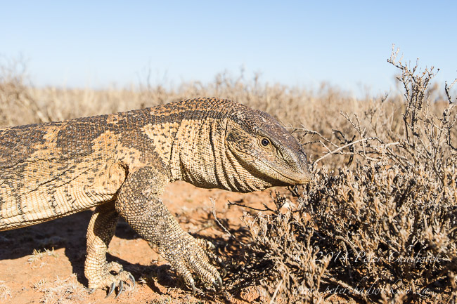 Rock Monitor Lizard by wildlife and conservation photographer Peter Chadwick