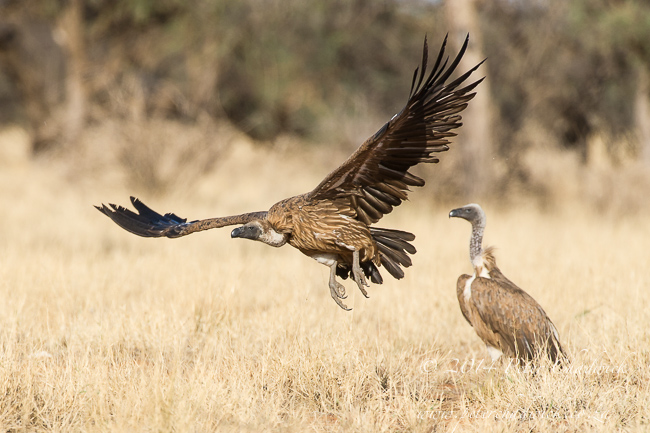 White-Backed Vultures by wildlife and conservation photographer Peter Chadwick