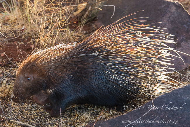 Porcupine at dawn by wildlife and conservation photographer Peter Chadwick