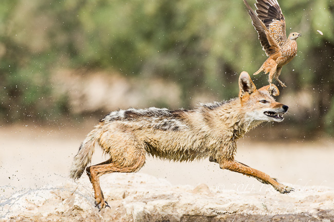 Black-Backed Jackal hunting sandgrouse by wildlife and conservation photographer Peter Chadwick