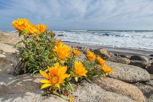 flowers growing on the Namaqua coastline by wildlife and conservation photographer Peter Chadwick