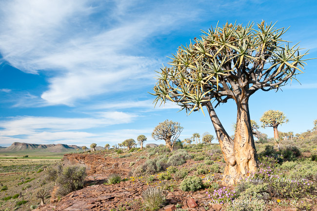 Nieuwoudville Quiver Tree Forest by wildlife and conservation photographer Peter Chadwick