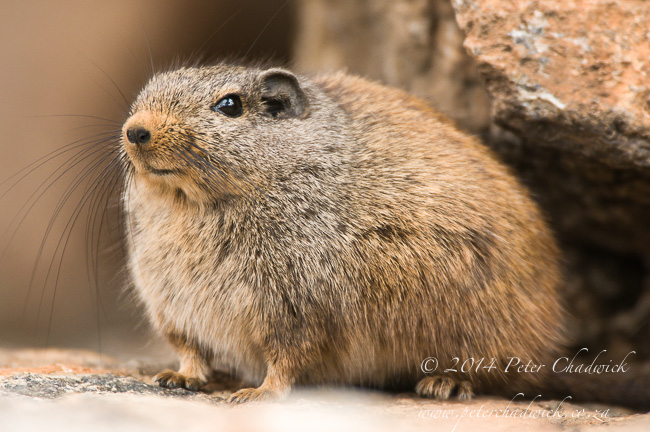 Dassie Rat by wildlife and conservation photographer Peter Chadwick
