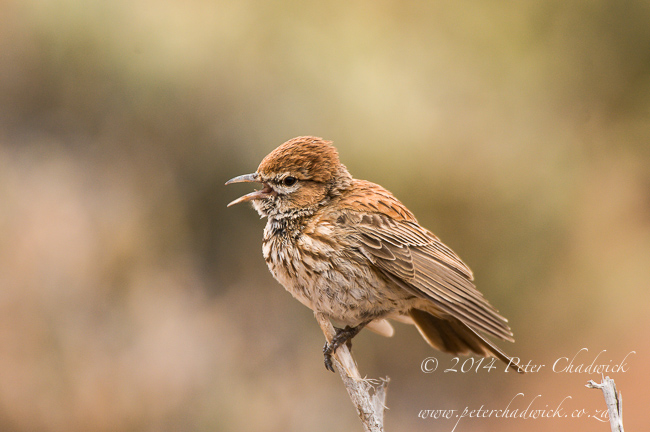 Barlows Lark by wildlife and conservation photographer Peter Chadwick
