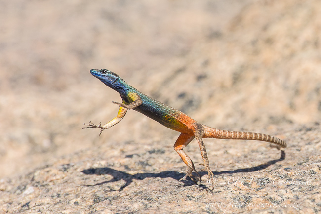Male Augrabies Flat Lizard by wildlife and conservation photographer Peter Chadwick