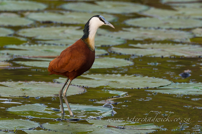 African Jacana by wildlife and conservation photograpger Peter Chadwick