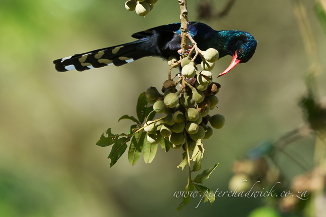 Green Woodhoopoe by wildlife and conservation photographer Peter Chadwick