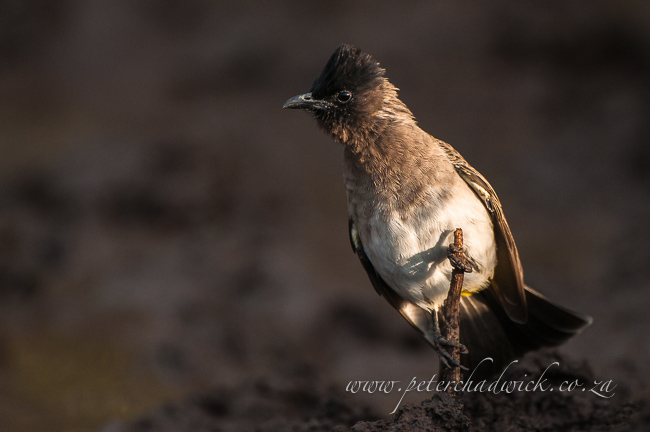 Dark capped bulbul by wildlife and conservation photographer Peter Chadwick