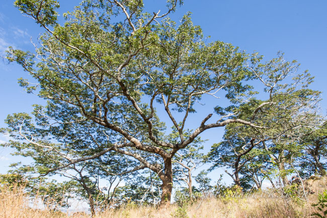 Miombo woodland by wildlife and conservation photographer Peter Chadwick